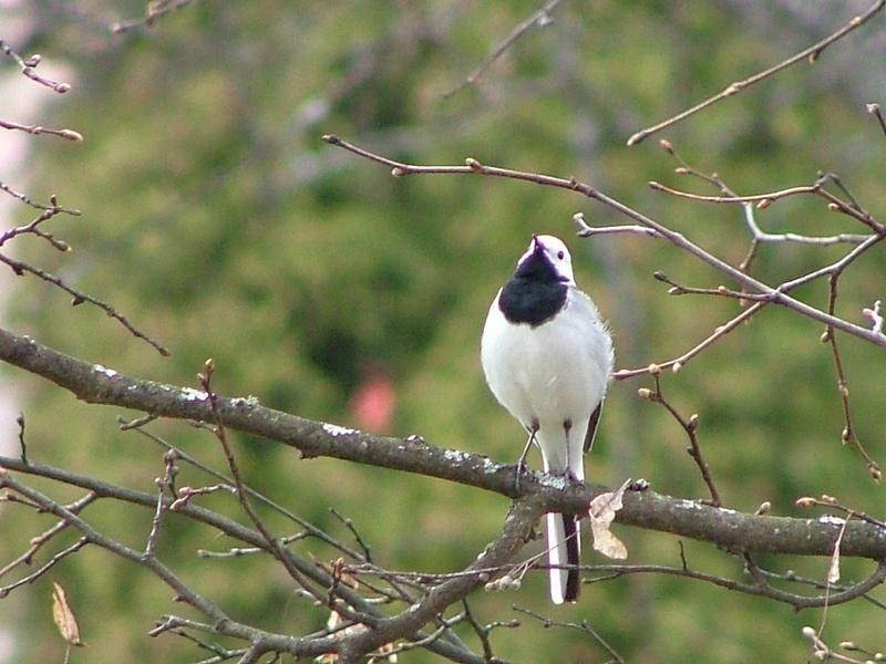 Autors: chupachabra Valstu nacionālie putni