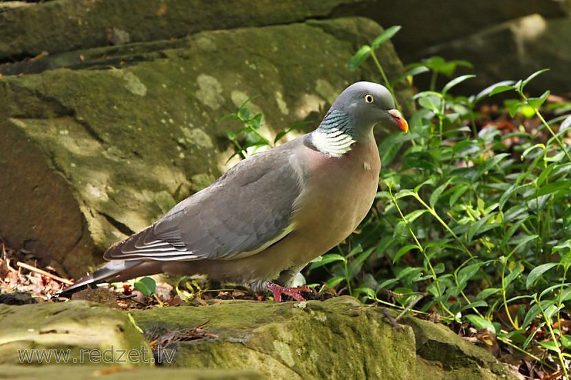 Angiljā nacionālais putns ir... Autors: chupachabra Valstu nacionālie putni