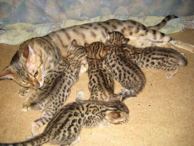 """Pirmā versija apgalvo ka kaķim... Autors: baarnijs03 Kaķis tevi """"masē"""" ar ķepiņām? Lūk, ko tas nozīmē!"""