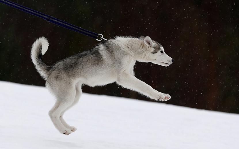 Haskija kucēns apmācībās... Autors: ezkins Cilvēka un suņa draudzības svētki