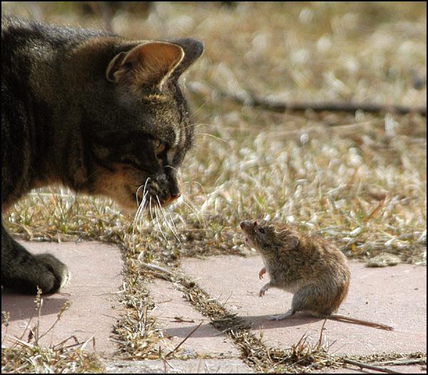 Ir aprēķināts ka viens kaķis... Autors: Fosilija Interesantu faktu paka par KAĶIEM