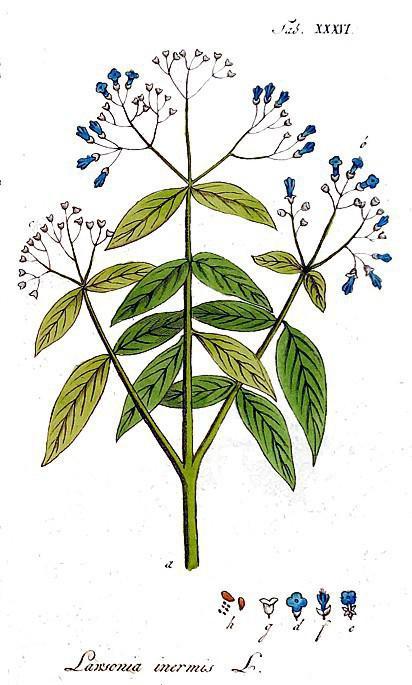Henna ir augs... Autors: 100 A Ko tu nezināji par matu krāsošanu ar hennu. Noderīgi padomi!