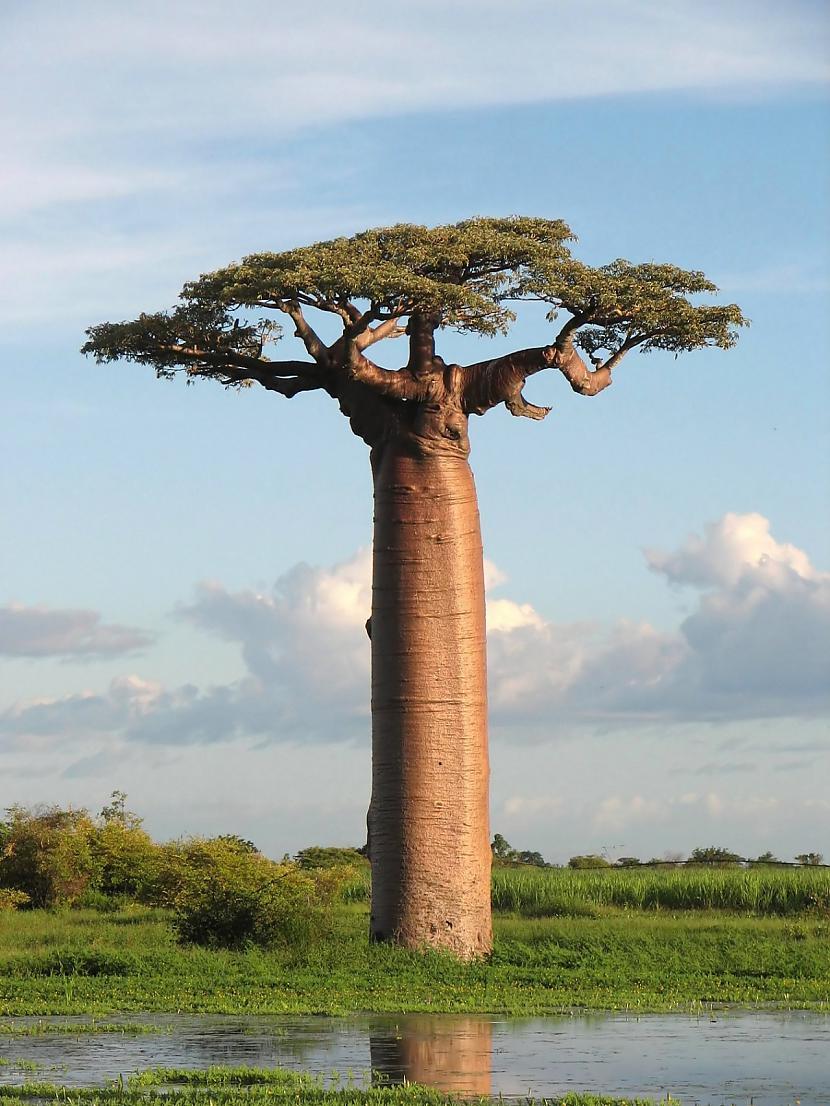4 BaobabsJāsaka ka scaronis ir... Autors: Vinnīts Koki!