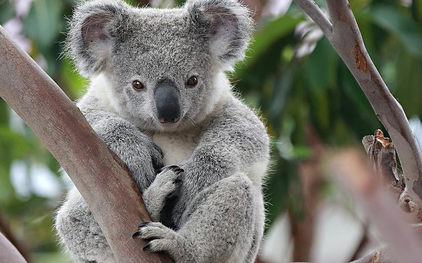 Autors: Drakonvīrs Koalas