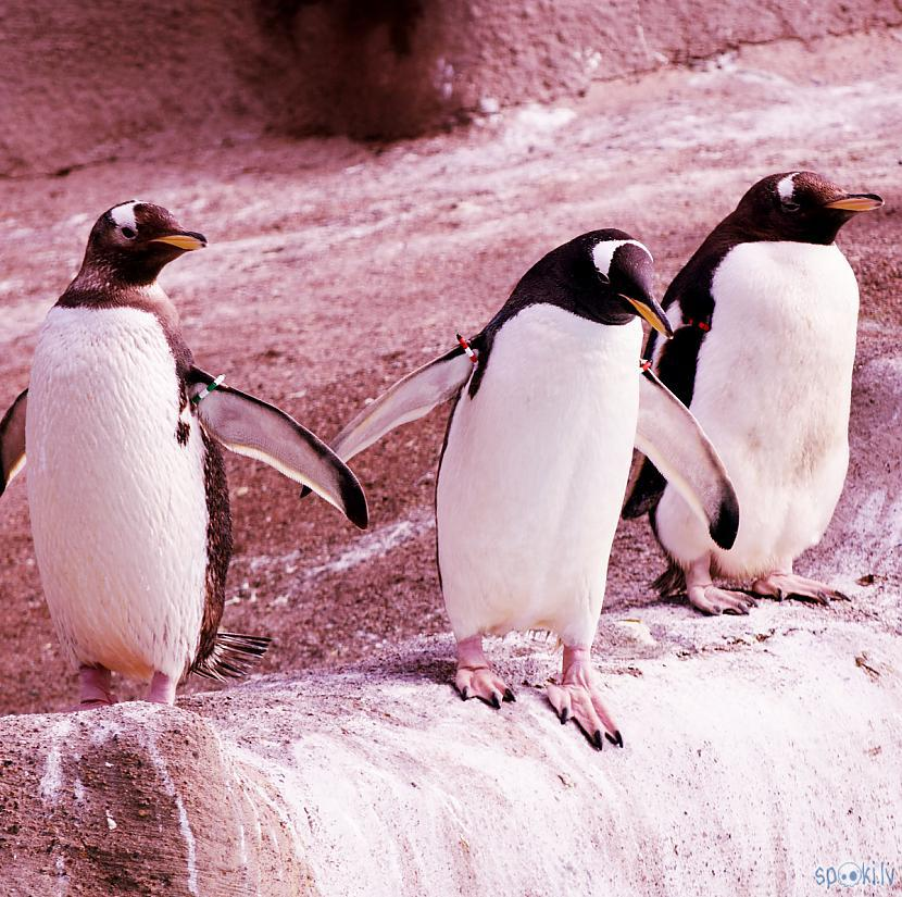 Autors: Strāvonis Pingvīns