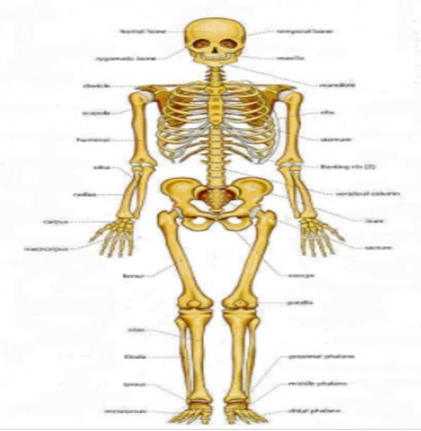 Kauli ir aptuveni 5 reizes... Autors: Fosilija Faktiņi par cilvēka ķermeni un tam saistītām lietām.