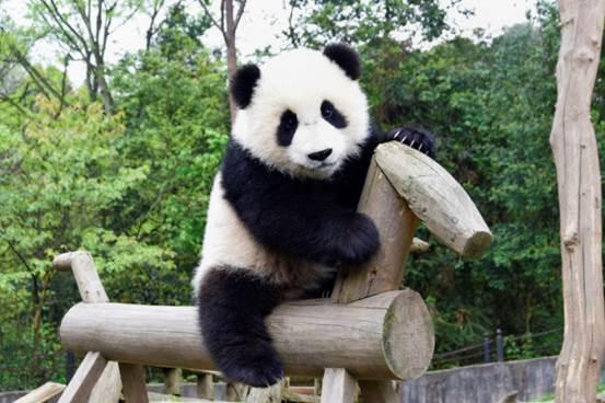 Pandas ir tik gudras jo tās ir... Autors: ere222 zxzxhzc Pandas