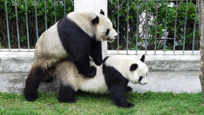 Mjā Pascaroni sapratīsiet vemt Autors: ere222 zxzxhzc Pandas