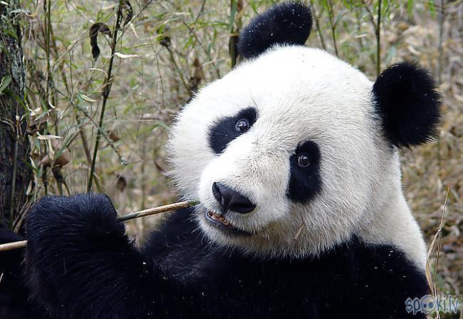 Pandanbspvar apēst no 10 ndash... Autors: vienanominkam Lielās pandas.