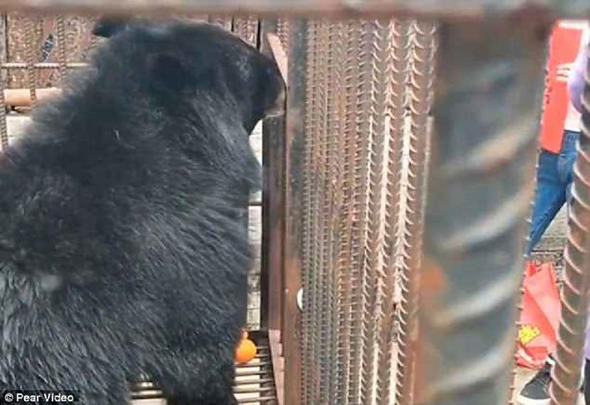 Saprotot ka tibetiescaronu... Autors: pyrathe Ķīniešu ģimenei suņa vietā pārdod lāci