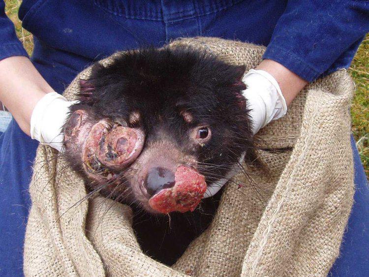 Tasmānijas velna sejas audzēju... Autors: Everbergerdīne 9 slimības, kas nopietni skar dzīvnieku sugas.