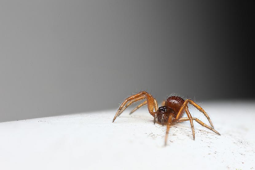 Pundurzirnekļi ir aktīvi... Autors: Kapteinis Cerība Interesanti fakti par Pundurzirnekli