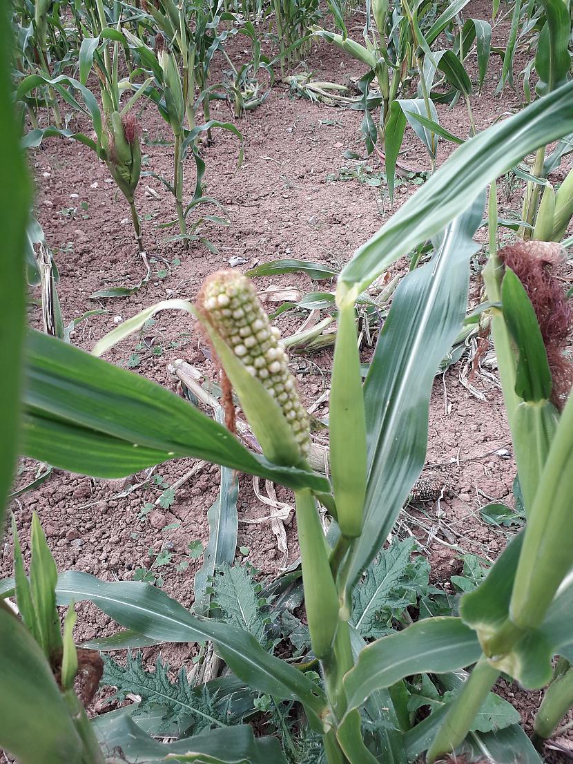 Te dzīvo kukurūza Ar ko... Autors: Griffith Malvernas lauki un mežs, 8. septembris. 2/2 daļa.