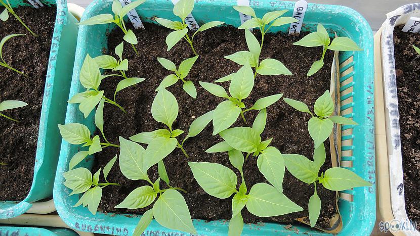 Te jau paprikas smuki... Autors: Werkis2 Werkis d(' _ ')b atkal sēj un audzē papriku, tomātus, salātus u.tjpr. (2020)