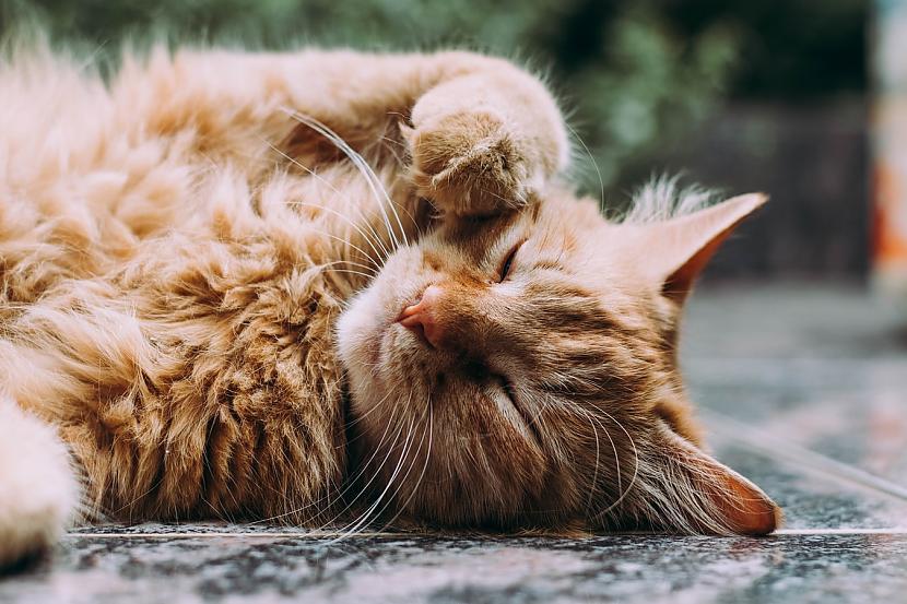 7 Mājās kaķa lielākais... Autors: matilde Desmit ļoti interesanti fakti par kaķiem